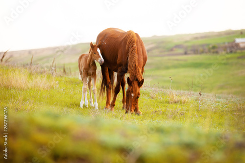 Leinwand Poster Close up photo of a little foal and his mom horse eating grass in field