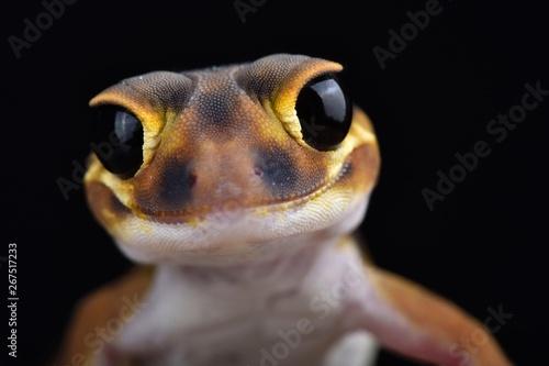 Stampa su Tela Smooth knob-tailed gecko (Nephrurus laevissimus)
