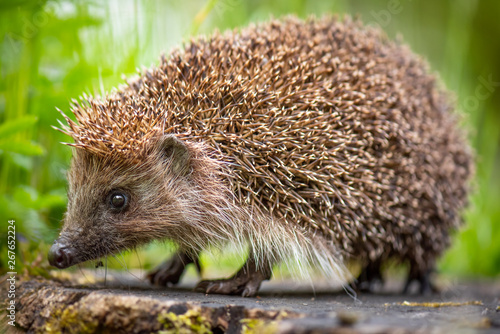 Cute common hedgehog on a stump in spring or summer forest during dawn Fototapet