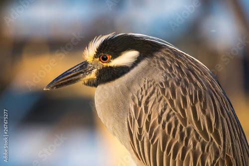 Tablou Canvas Macro of a Black crowned night heron