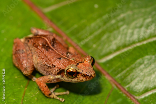 Canvas Print Lesser Antillean Whistling Frog (Eleutherodactylus johnstonei)