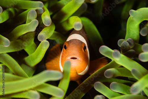 clownfish in maldives Fotobehang