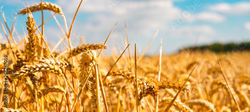 Valokuva summer landscape with field of corn under blue sky