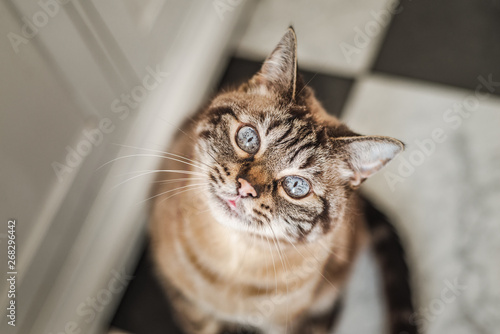 Photo Cute tabby cat with blue eyes and long whiskers looks at camera with a sweet, happy expression