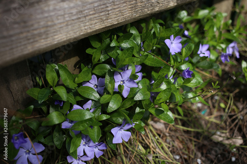 Spring periwinkle is a symbol of eternal life, growing under a wooden fence Fototapeta