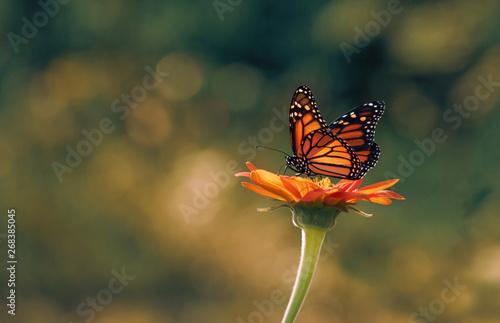 Stampa su Tela Monarch butterfly sitting on sunflower
