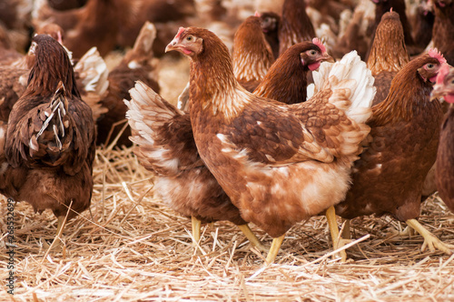 Fotografia portrait of chicken in a Traditional free range poultry farming