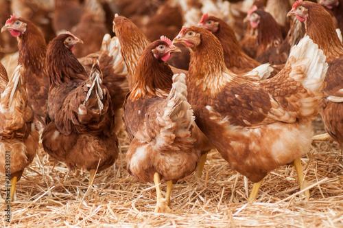 Carta da parati portrait of chicken in a Traditional free range poultry farming