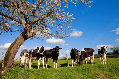 Wallpaper Mural Vache dans les champs au printemps