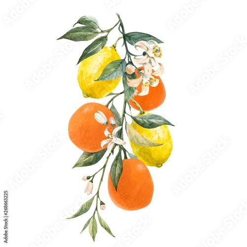 Fototapeta Watercolor citrus fruits vector illustration