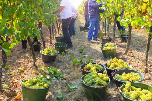 Fotografia Grape harvest