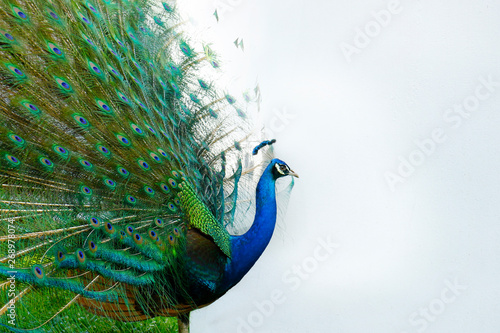 Stampa su Tela Peacock with tail in plume spread