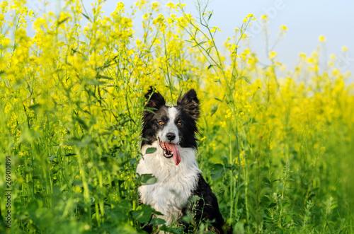 Fotografija border collie dog incredible portrait in beautiful colors