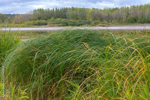 Fotografia Sedge thickets on the river Bank