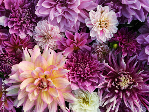 Fotografering Many beautiful blooming dahlia flowers, floral summer background