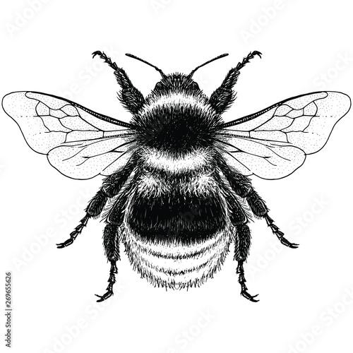 Cuadros en Lienzo Illustration of a Garden Bumblebee (bombus hortorum)