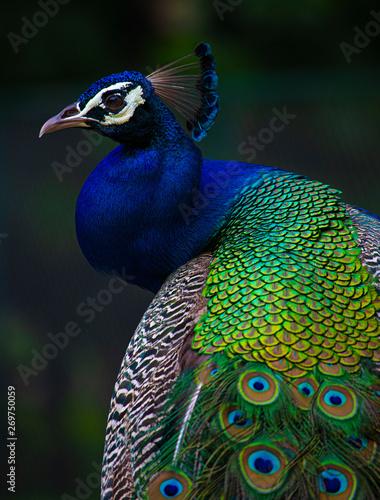 Photo Indian Peacock, Peacock closeup, peacock head, peacock feathers, dancing peacock