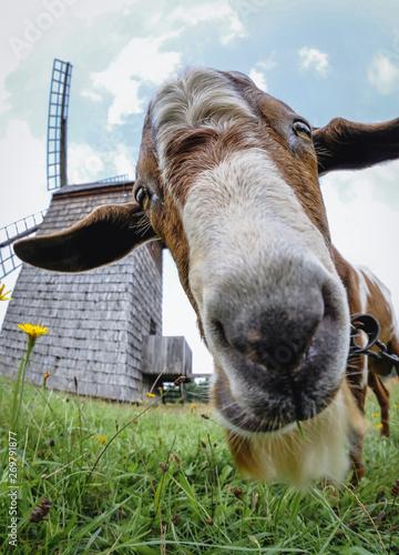 Goat in front of old windmill in heritage park in Olsztynek town of Olsztyn County in Warmia-Mazury Province, Poland