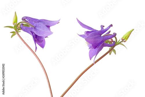Obraz na płótnie Zwei blaue Akeleien (aquilegia vulgaris), freigestellt
