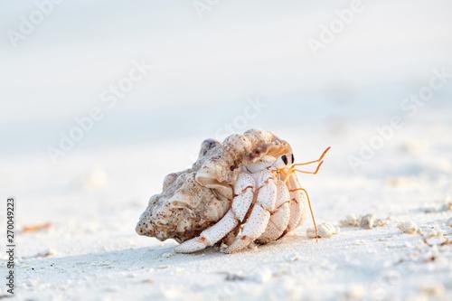 Fotografia Hermit Crab on a beach
