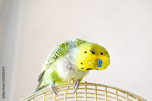 Fotografia Domestic budgie parrot, poultry with health problem after moulting