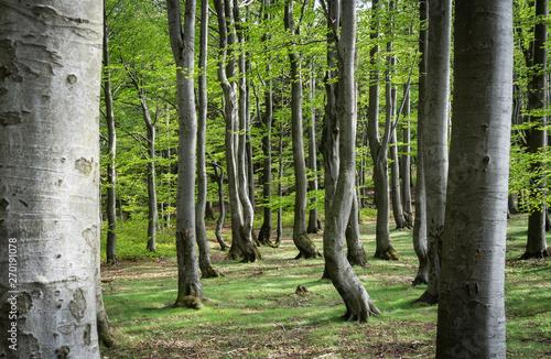 Beech forest Fototapet