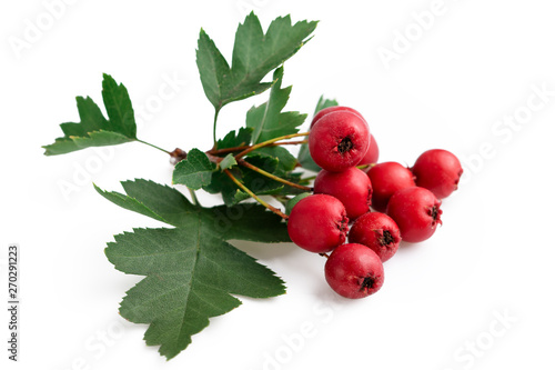 Fotografie, Obraz Hawthorn red berries with leaf isolated on white background