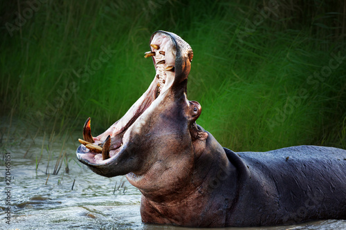 Fotografia Angry hippopotamus displaying dominance in the water with a wide open mouth