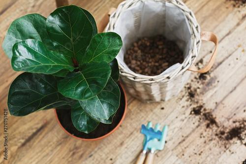 Photo Repotting fiddle leaf fig tree in big modern pot