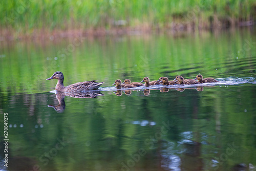 duck mama with ducklings swimming in lake in formation Fototapet
