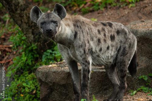 Fototapeta Spotted hyena (Crocuta crocuta), also known as the laughing hyena