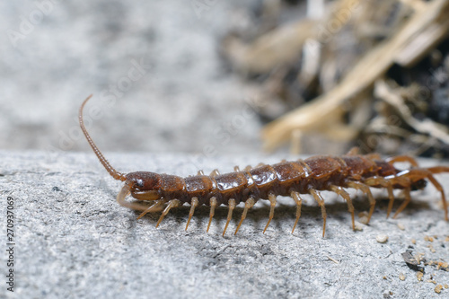 Fotografía Scary long red dirty centipede on a light background