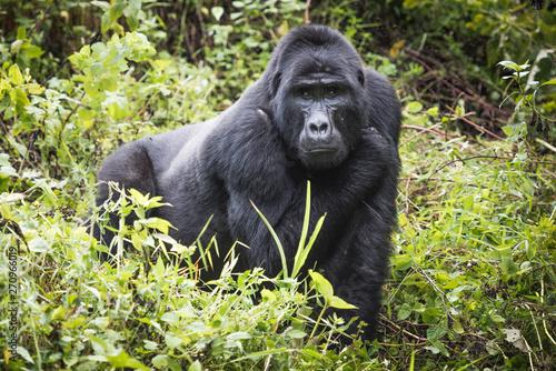 Fotografia Mountain gorilla stands in rich vegetation and looks towards camera in Bwindi Im