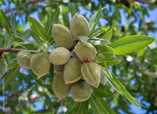 Fotografie, Tablou Unrape almond on a tree in Spanish forest. Prunus dulcis.