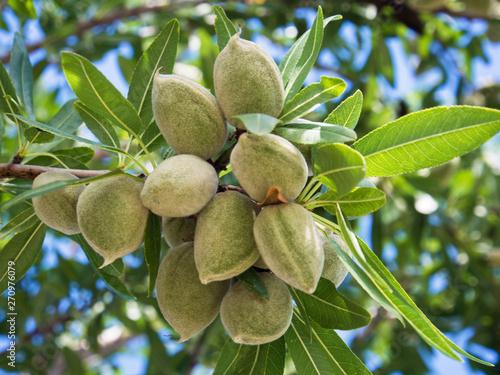 Fototapeta Unrape almond on a tree in Spanish forest. Prunus dulcis.