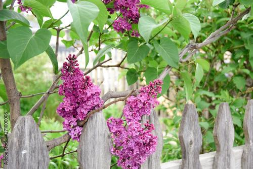 Valokuvatapetti Lilacs in Bloom