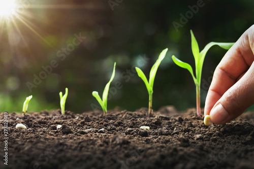 Canvas Print hand planting corn seed of marrow in the vegetable garden with sunshine