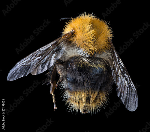 Fotografia large bumblebee top view isolated on black