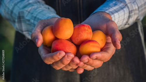 Leinwand Poster Farmer's hands hold several juicy spelled apricot