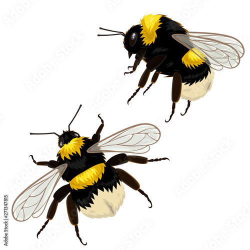 Leinwand Poster Set of two bumblebees isolated on a white background in different angles