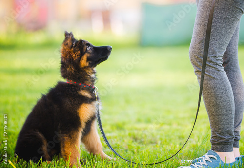 Obraz na plátně German shepherd puppy during a training session in a puppy school