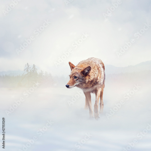 Photo coyote walking  in the winter