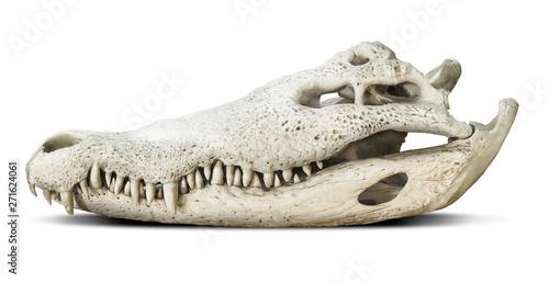 Billede på lærred Crocodile skull isolated on grey background with clipping path