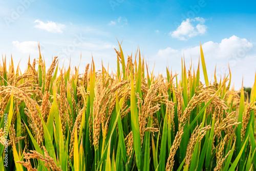 Fototapeta Ripe rice field and sky landscape on the farm