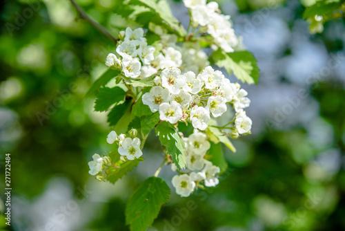 Obraz na plátně Blooming hawthorn in the spring garden