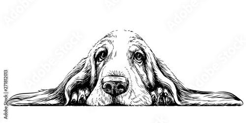 Fényképezés Dog breed Basset Hound