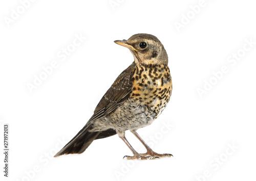 Obraz na plátně Baby bird thrush fieldfare isolated on a white