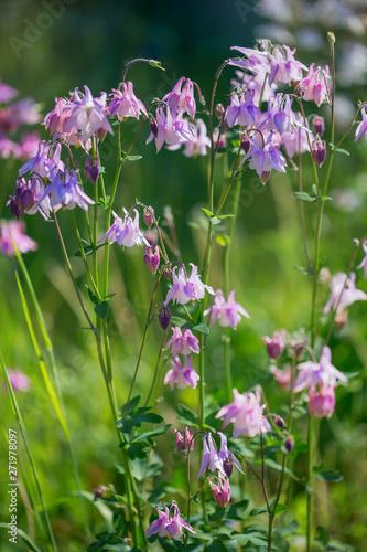 Foto Pink aquilegia blooms in the garden
