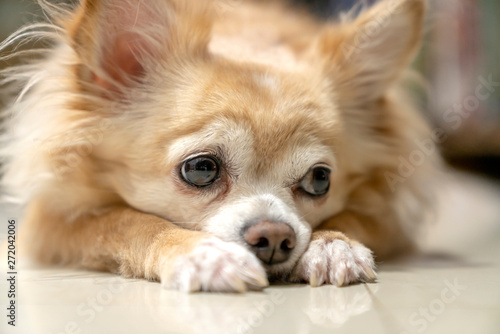 Fototapeta boring brown furry chihuahua dog waiting for wood from owner