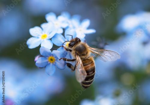 Biene bee Vergissmeinnicht forget-me-nots wildbiene wild bee blue yellow blau ge Fototapete